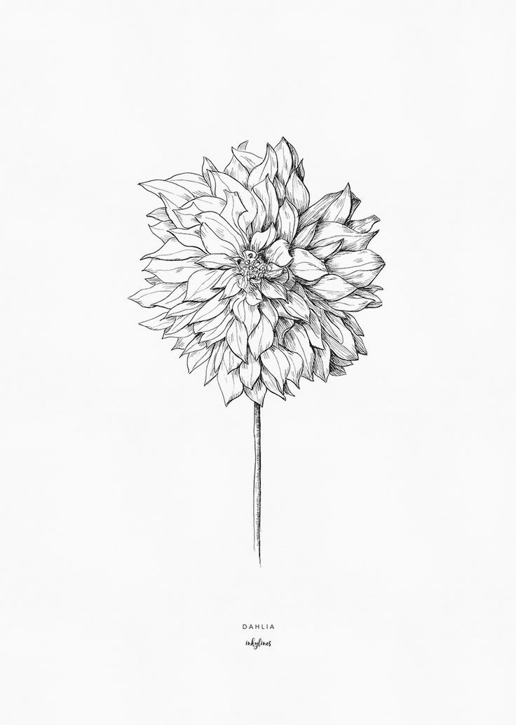Dahlias Sketch Bulbs In 2020 Dahlia Tattoo Dahlia Flower Tattoos Flower Line Drawings
