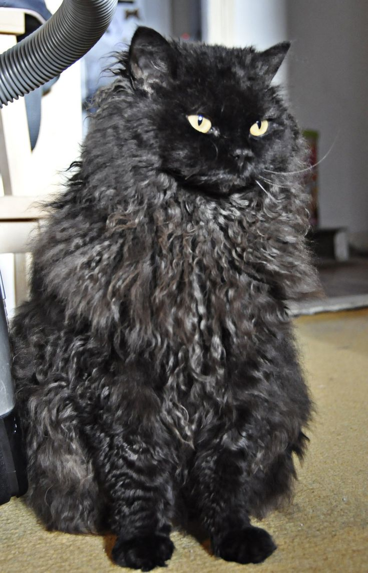 Black Selkirk Rex I think if I got a male cat of this breed and let lullaby and him have a little of kittens and then get them both fixed that they would make beauuuutttiful babies. I would keep one of their kittens and then see who wanted the others of course not everyone would want a kitten