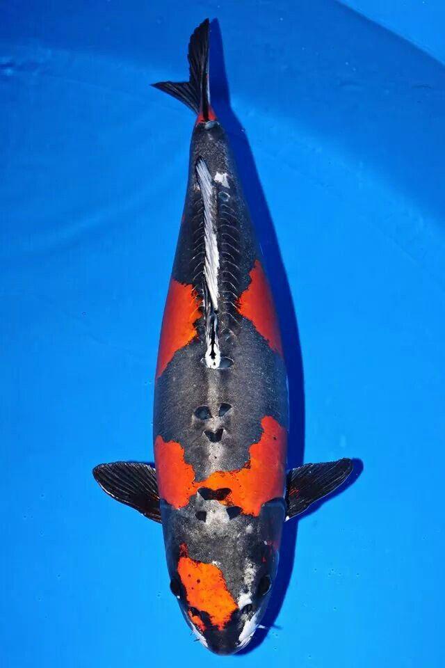 Mejores 36 im genes de peces kois en pinterest carpas for Estanque de carpas