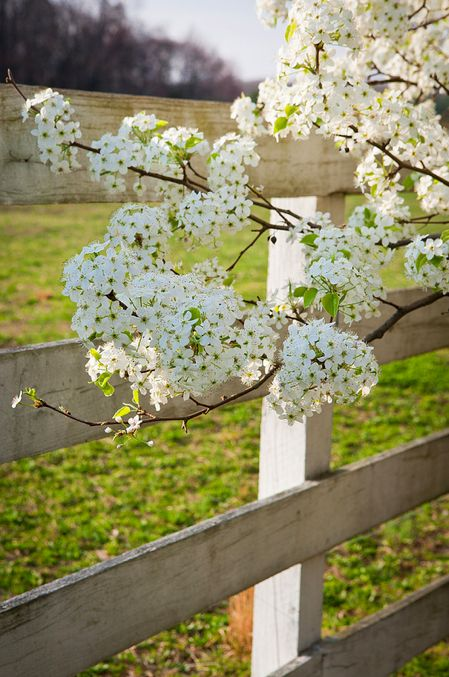 Tree Blooms By The Fence