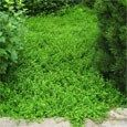 Herniaria Glabra forms such a low growing ground cover many people refer to it as Green Carpet. It is also called Rupturewort and is grown from Herniaria Glabra seeds.