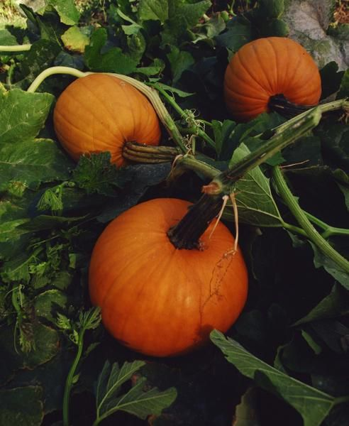 How to Grow Your Own Pumpkin Patch Mound - Maybe I could find space for a couple of plants since I find them so charming!