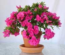 Un arbustro lustroso: la Azalea