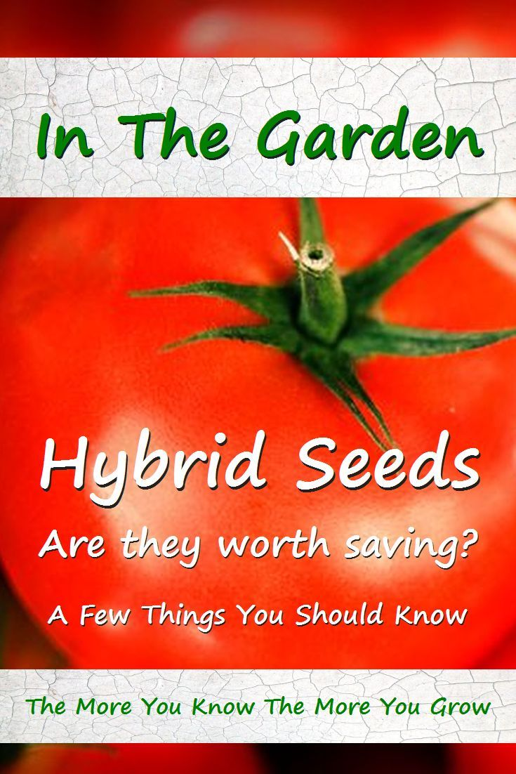 Hybrid Seeds - Can you save them? Do they grow? Is this genetic engineering? So many questions. #gardening via @RobinFollette