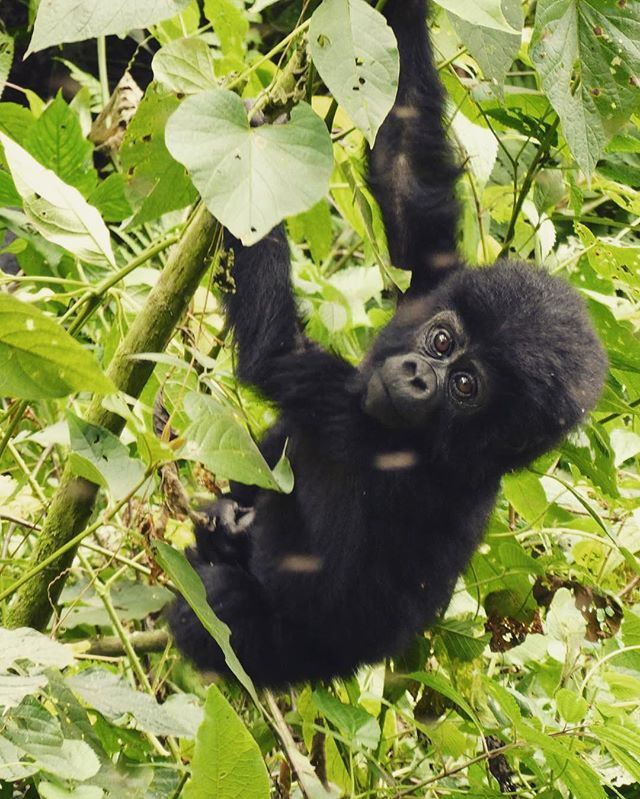 Remember a couple of weeks ago when I face to face with gorillas? I can't get the images out of my head and it makes my heart so happy! #africa #uganda #gorillas #babygorilla #mountaingorilla #wanderlust #explore #thisisafrica