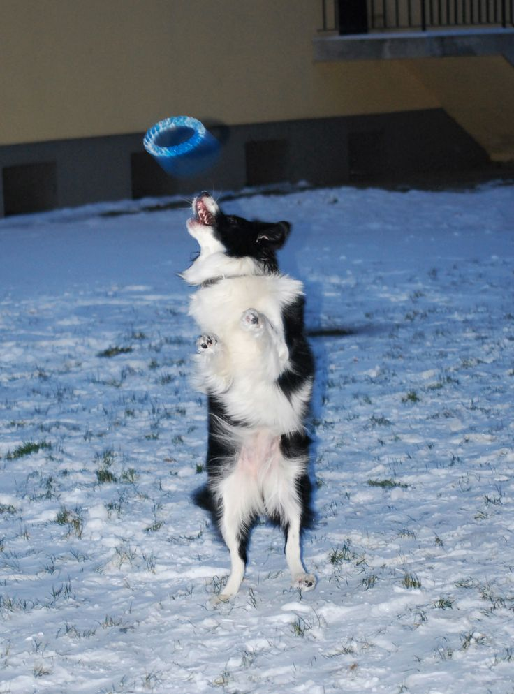 have some fun :) Our first snow! #bordercollie