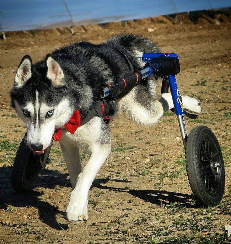Best 25 Dog Wheelchair Ideas On Pinterest Turbo Service