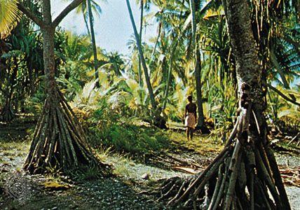 Pandanus trees, Kiribati