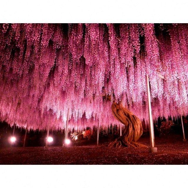 150-летнее дерево глицинии Япония by interestime