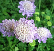 I love the look of these!       Growing Conditions For Scabiosa Flowers – How To Care For Scabiosa Pincushion Flower