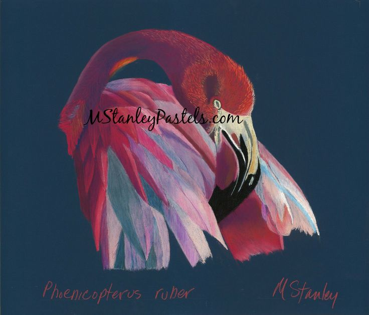 Pastel drawing of a flamingo Phoenicopterus ruber. Wish to purchase it? Please go to http://www.etsy.com/shop/mstanleypastels