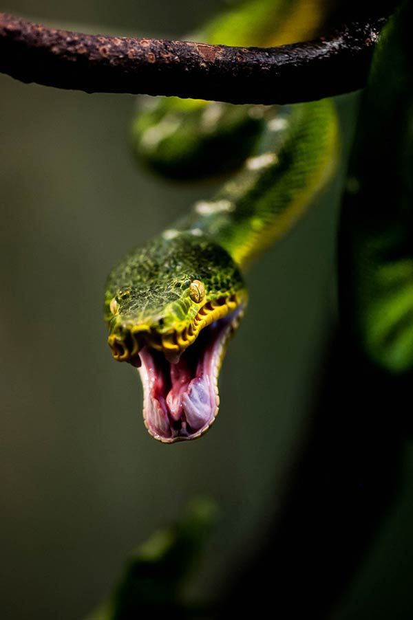 Snake Attack | Gorgous Creatures! | Pinterest