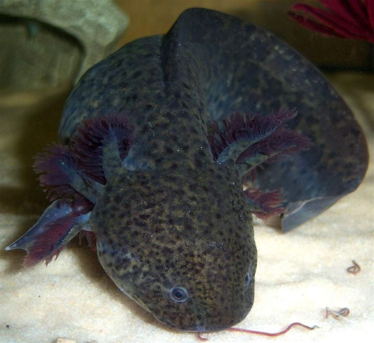 34 best Axolotl images on Pinterest Amphibians Reptiles and Animals
