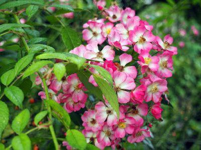 rose mozart love those simple flowerheads roses. Black Bedroom Furniture Sets. Home Design Ideas