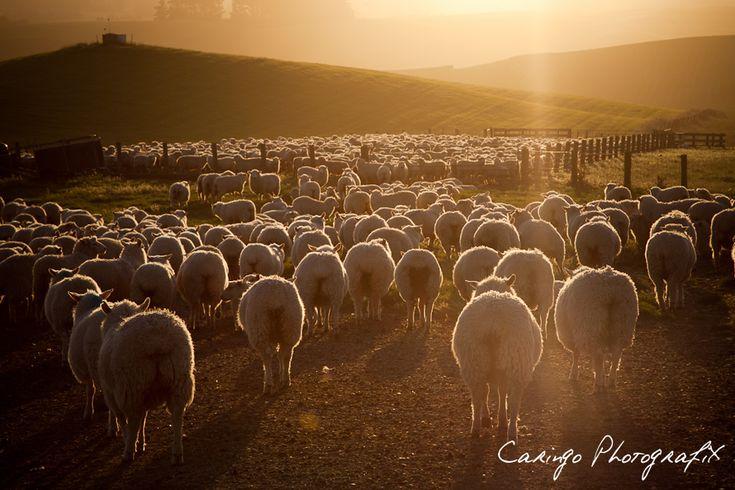 sheeps in New Zealand