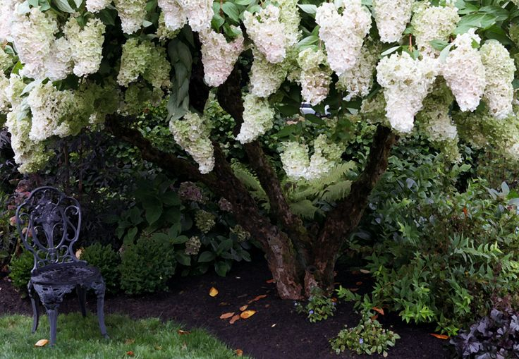 Hydrangea grandiflora