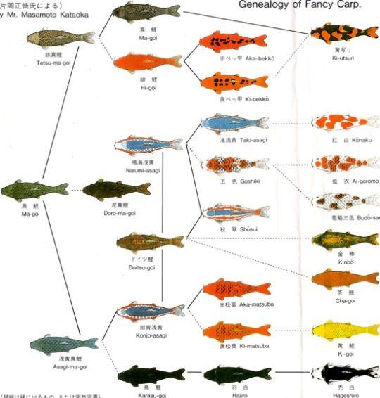 Japanese fish names google search random facts for Koi variety chart