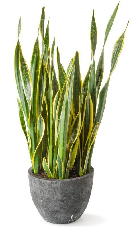 Snake Plant - Sansevieria