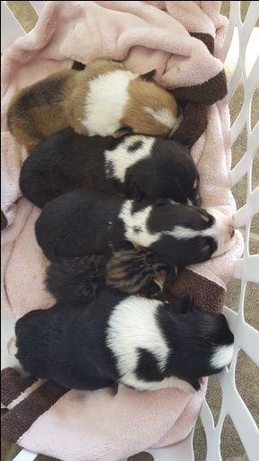 Pembroke Welsh Corgi puppy for sale in ARLINGTON, WA. ADN-42645 on PuppyFinder.com Gender: Male. Age: 1 Week Old