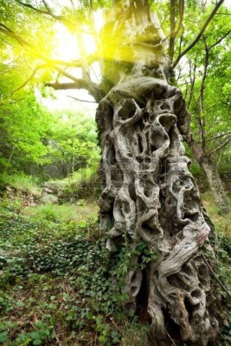 tortueux vieux châtaignier tronc d'arbre dans la forêt avec la lumière du soleil Banque d'images - 5253194
