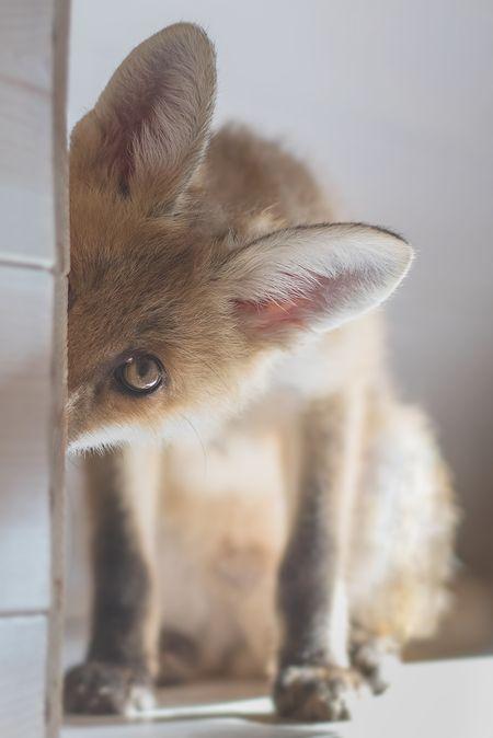 Red Fox Cub by Esteban Sanchez - National Geographic Your Shot