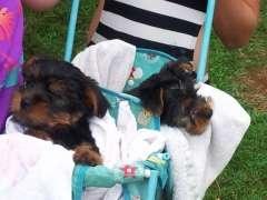 Pure Bred Australian Silky Terriers. Australian Silky Terrier puppies @ www.pups4sale.com.au