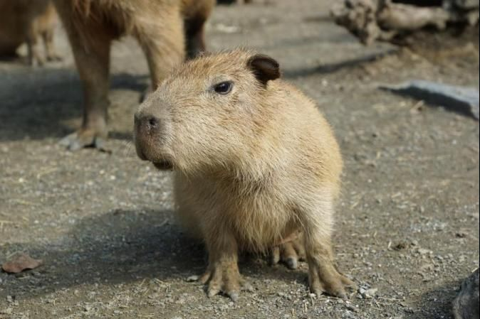 64 best ideas about Capybaras on Pinterest | Guinea pigs ...