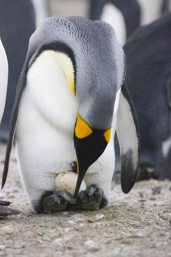 Foulard En Cachemire - Paire De Pingouin (set) De -male Par Vida Vida Y9qOXi