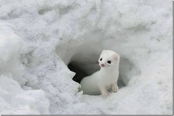 Doninha Da Neve De Pequeno Porte Patas Curtas E Corpo