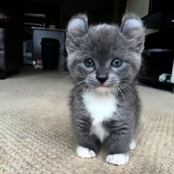 Cute Animals Baby Panda Out Kittens For Free Birmingham Across Cutest Animals Cute Baby Animals Videos Opposite C Munchkin Cat Cute Baby Animals Kittens Cutest