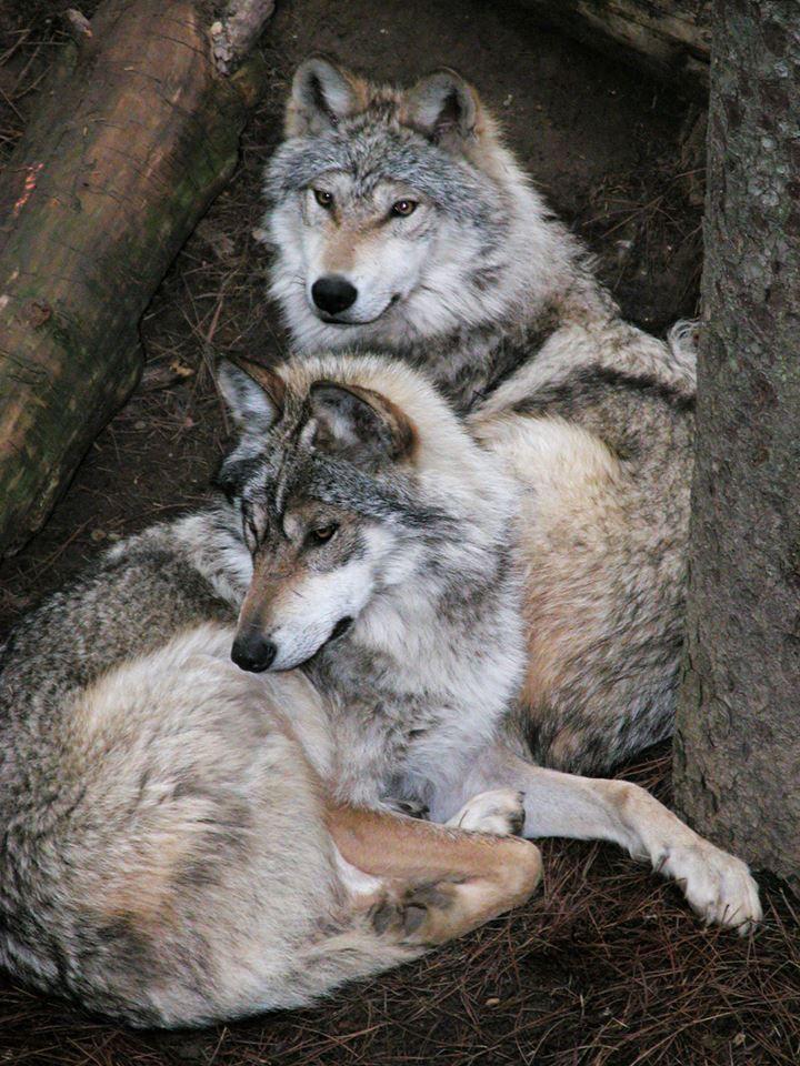 Impresionantes lobos