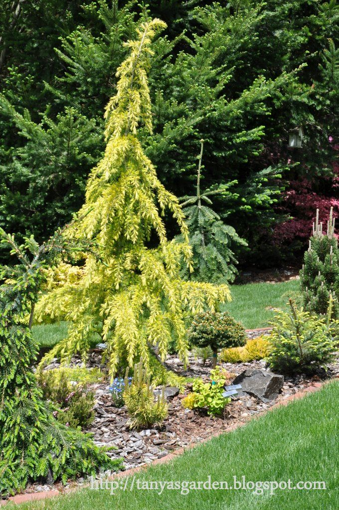 Cedrus deodara gold cone landscaping pinterest for Weeping evergreen trees for small gardens