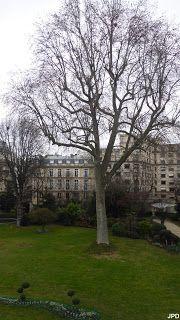 Paris  Au milieu de la pelouse, trône ce platane tricentenaire; il était là avant l'hôtel  de Brienne  en 1725,