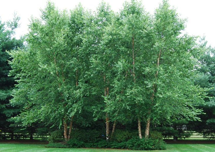 The River Birch Is A Very Popular Tree Due To Its