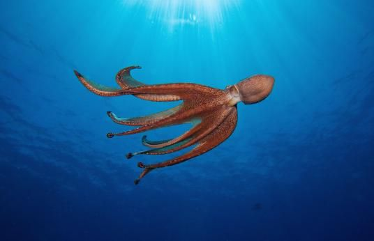 "Fighting Octopuses Video Is First to Show How They ""Talk"""