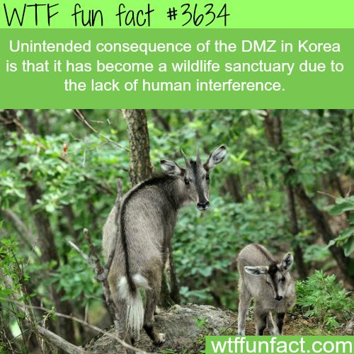 The DMZ in Korea has some awesome wildlife - WTF fun facts