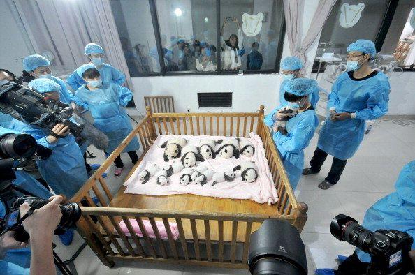 Melihat bayi panda   Bayi panda yang menggemaskan - Yahoo News Indonesia