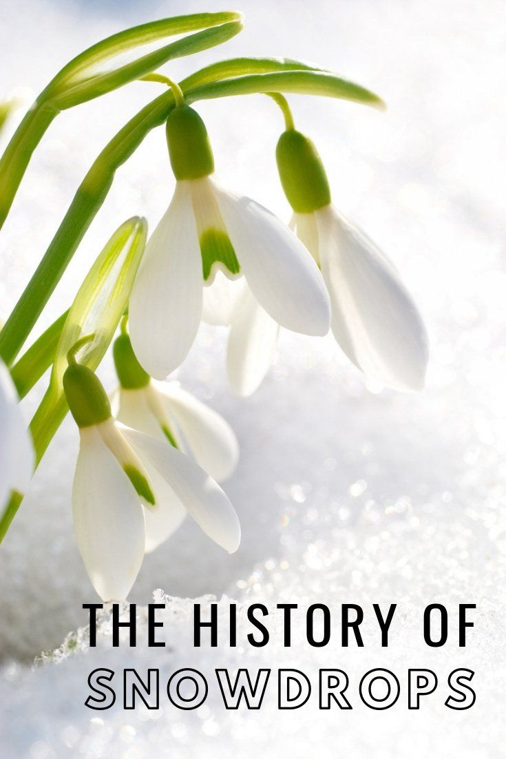 Snowdrop Bulb Information Learn About The History Of Snowdrops Gardening Know How S Blog Flowers Eco Friendly Flowers January Birth Flowers