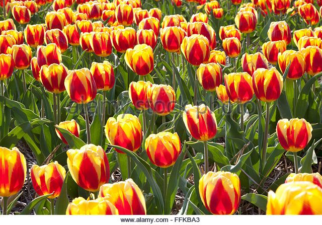 Dutch Tulip fields in springtime - Stock Image
