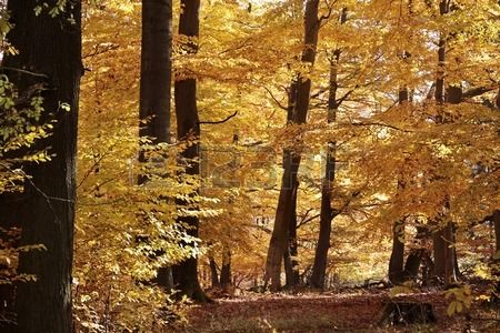 Autumnal beech forest near Engenhahn in the Taunus mountains, Hesse, Germany
