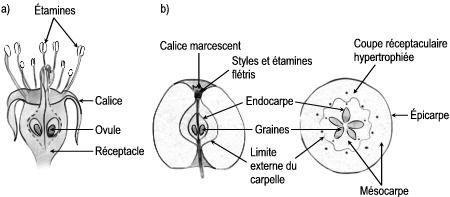 """Formation du fruit chez le Pommier: (a) fleur flétrie en coupe longitudinale, (b) fruit en coupe longitudinale et en coupe transversale. L'ovaire et le réceptacle soudés l'un à l'autre produiront le fruit. L'endocarpe est la partie coriace entourant les cavités qui contiennent les graines ou """"pépins"""" du """"coeur"""" de la pomme. Le mésocarpe qui comprend à la fois les parois carpellaires et le réceptacle forme la partie charnue de la pomme. L'épicarpe forme la """"pelure"""" de la pomme. Le calice ..."""
