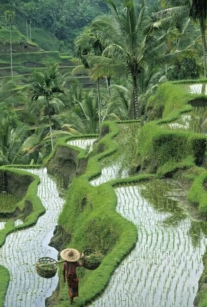 Rice fields, central Bali, Indonesia.