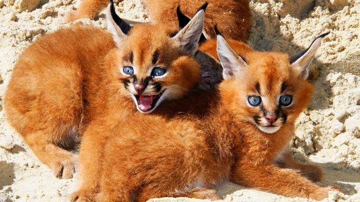 15 Razze Di Gatti Più RARE Del Pianeta