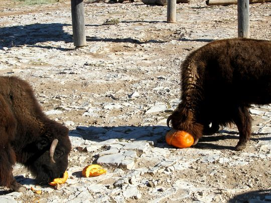 A bison uses its horns to break open a pumpkin on Saturday