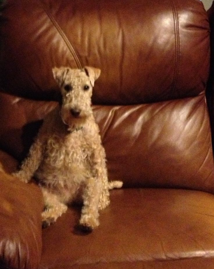 Lakeland Terrier dog: We had a Lakeland bitch. She was utterly bonkers and extremely entertaining. The best dog we ever had. This one looks uncharacteristically serious!
