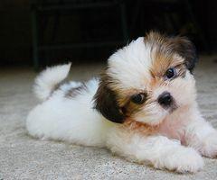 Awww: Tzu Puppies, Friends, Shy Tzu, Shihtzus, So Cute, Pet, Cuti, Shih Tzus, Adorable Animal