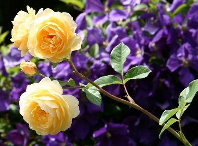 roses and clematis - Google Search