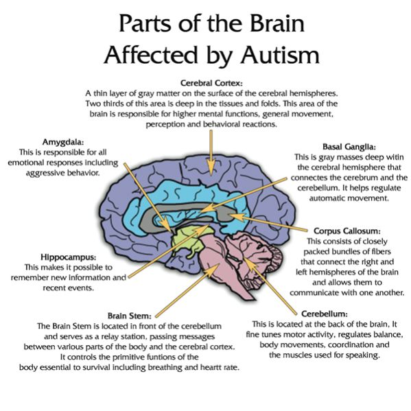 A diagram of areas of the brain felt to be affected by autism.