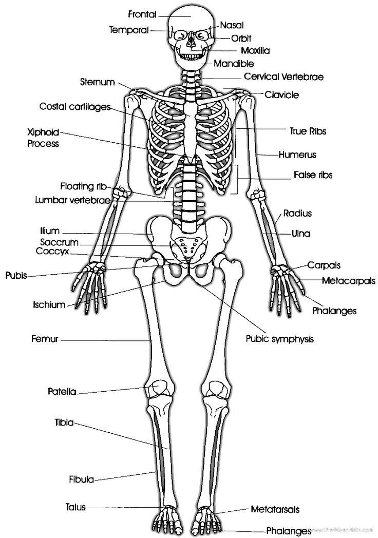15 best anatomy images on Pinterest | Anatomía humana, Anatomía y ...