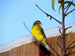 Malinois Waterslager canary - ΕΚΤΡΟΦΕΑΣ ΜΑΛΙΝΟΥΑ : Μεταδοτικές ασθένειες καναρινιών